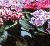 african-violet_big.jpg